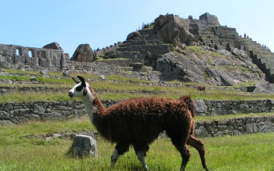 the-lama-is-emblematic-animal-in-peru